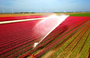 Irrigation of Dutch tulips using M2M